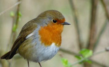Robin by Barbara Wooldridge
