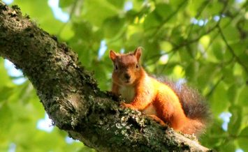 Red squirrel - Kielder Water, Northumberland BY Carol Huddy