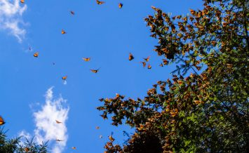 Monarch Butterflies on tree branch in blue sky background, Michoacan, Mexico The Monarch Butterfly Biosphere Reserve is a World Heritage Site containing most of the over-wintering sites of the eastern population of the monarch butterfly.