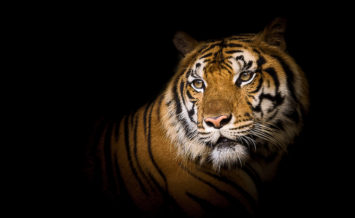International-Tiger-Day.