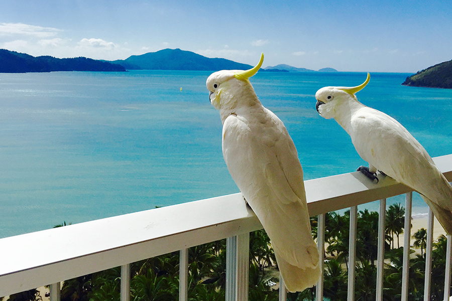 Cockatoos at Hamilton Island, Queensland