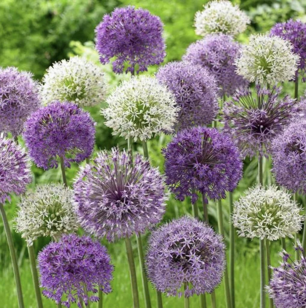 Allium Superglobe Mix